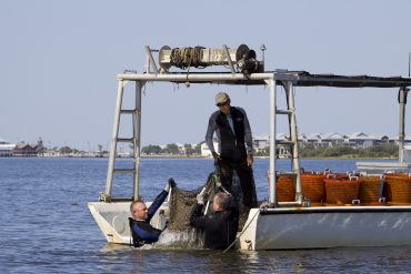 Clam fishermen harvesting bags of mature clams off the coast of Cedar Key, Florida.