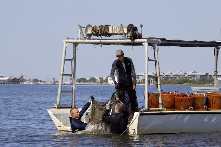 Clam fishermen harvesting bags of mature clams off the coast of Cedar Key, Florida.