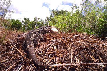invasive Tegu lizard