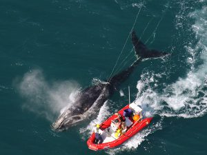 Scientists from NOAA Fisheries Service help entangled whales.