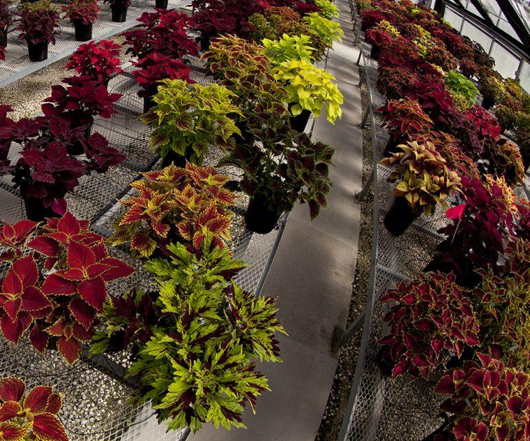 greenhouse with coleus plants