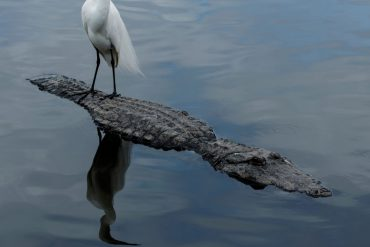 bird and alligator