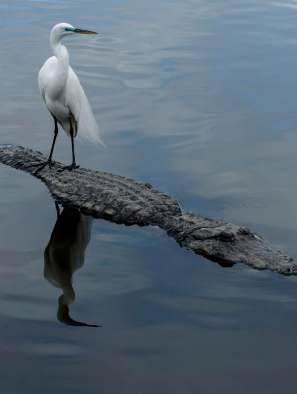 bird and alligator