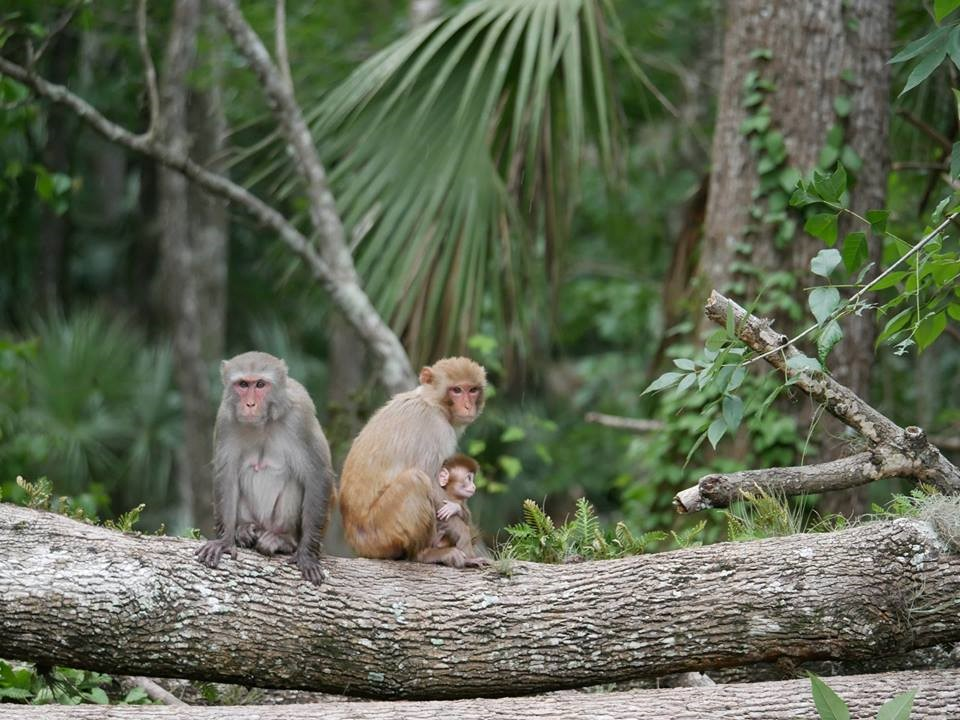 Rhesus-Macaques