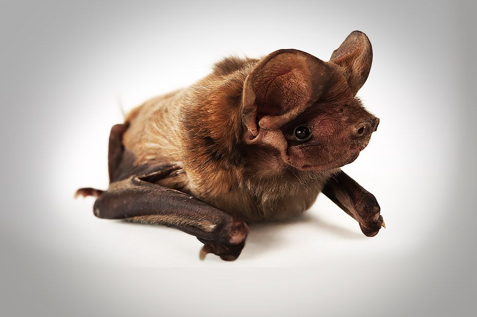 bonneted-bat