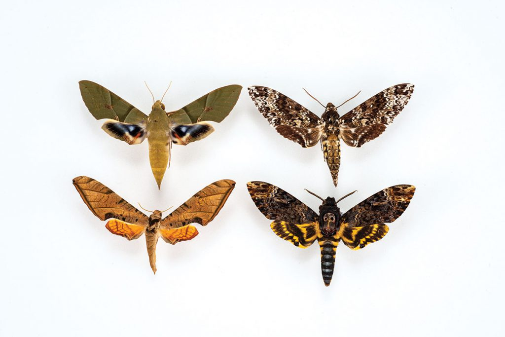 Sphinx Moths