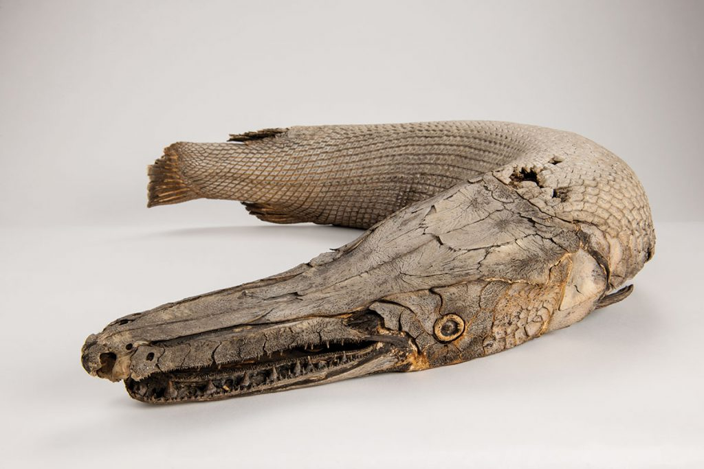 Alligator gar from the comparative collections. These big fish were a common food species for native people of southeastern North America.