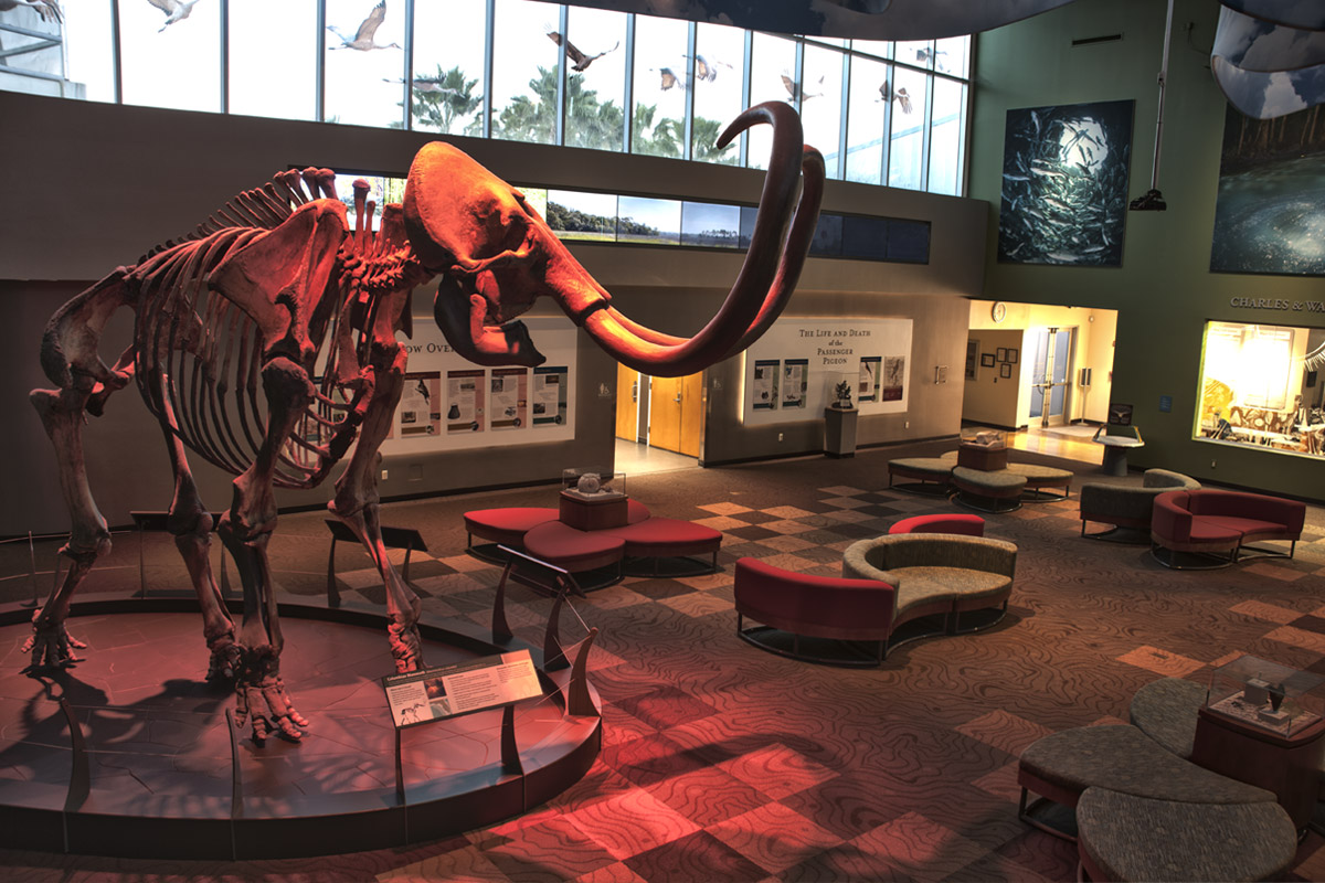 Mammoth in Florida Museum