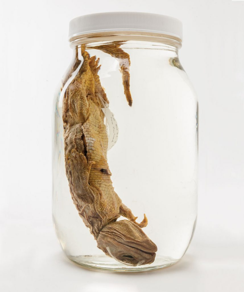"The tuatara is suspended in its jar, the only one in the herpetology collection marked ""not to be opened."""
