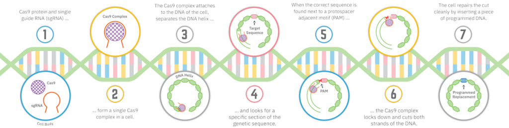 Infographic showing the mechanics of CRISPR gene editing