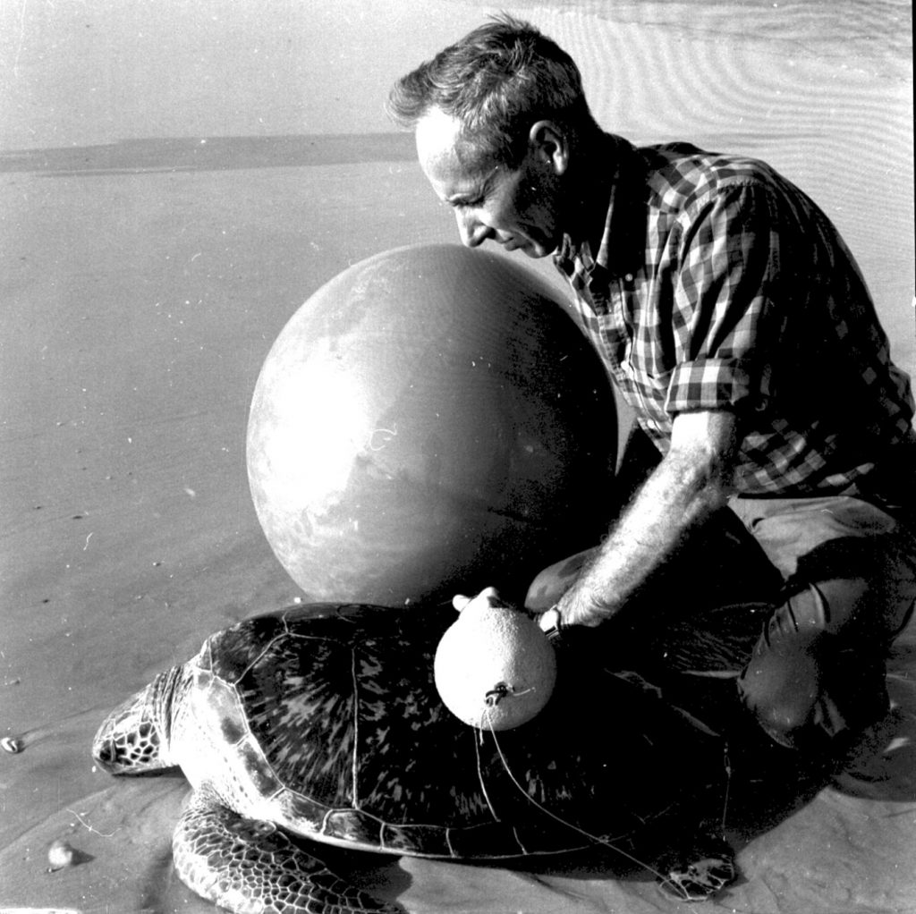Archie Carr began studying sea turtles in the 1940s and mentored generations of conservation scientists like Karen Bjorndal, who now directs the Archie Carr Center for Sea Turtle Research.