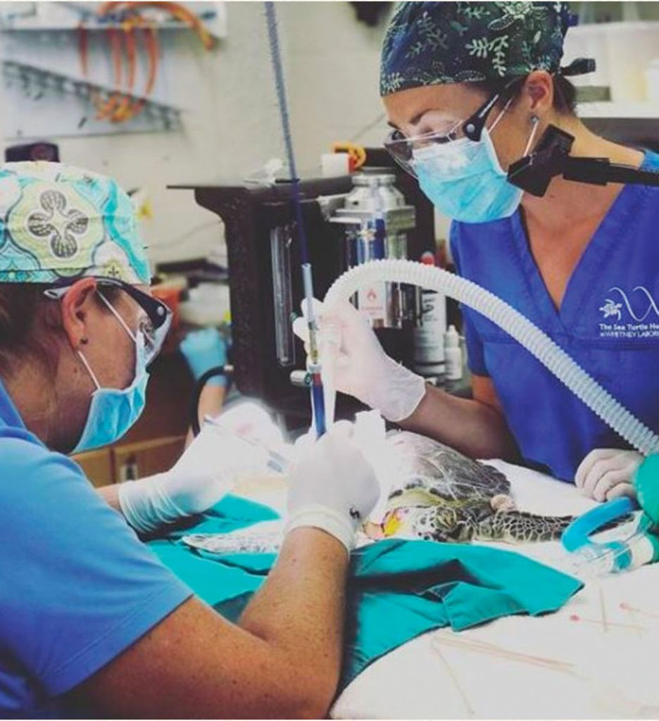 sea turtle undergoing a procedure at the Sea Turtle Hospital at the University of Florida's Whitney Laboratory for Marine Bioscience.
