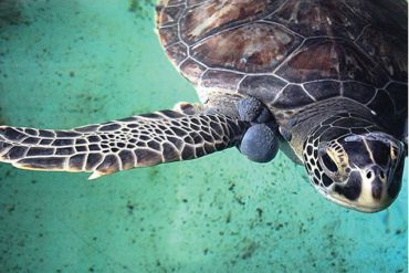 sea turtle with fibropapillomatosis