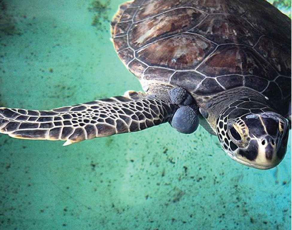 sea turtle with fibropapillomatosis
