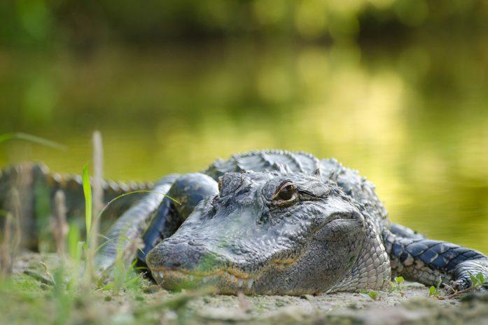 Close-up of Alligator on UF campus