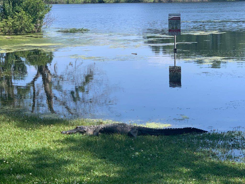 Alligator lays on the shore of Lake Alice at UF