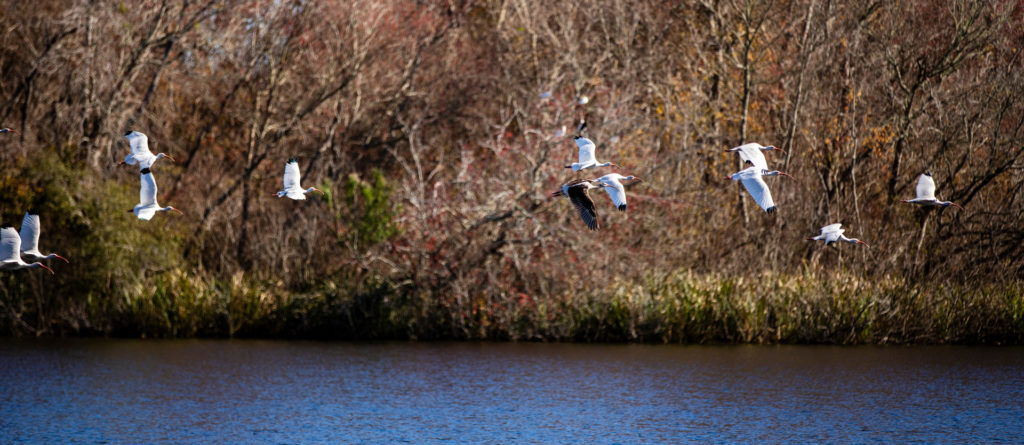 Cranes flying over lake.